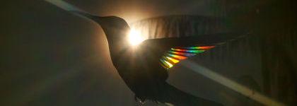 Apprendre à photographier le prisme des couleurs... dans les ailes des colibris